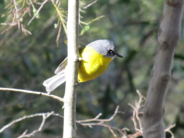 Eastern Yellow Robin (Photo credit: Trevor Hampel)