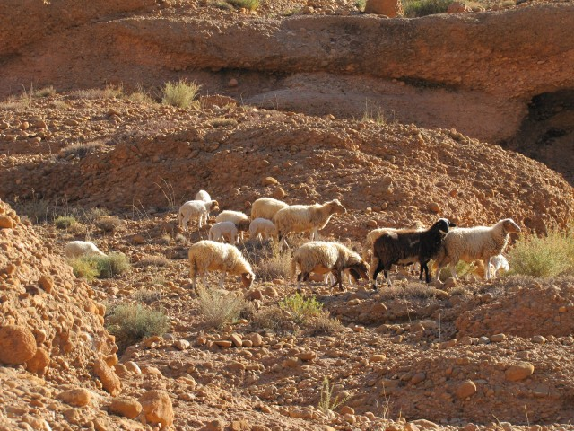Sheep in Morocco