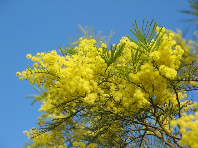 Acacia (wattle) flowers Photo: T. Hampel